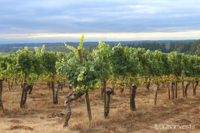 db1-the-morning-sun-catches-the-chardonnay-vines-in-dundee-hills-oregon