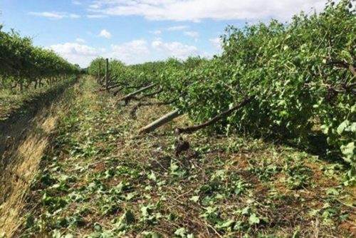 Some vines were uprooted after the storm in Riverland (photo credit: ABC)