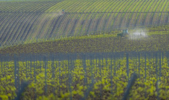 Romanian vineyard Cremele Recas