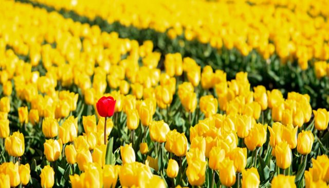 seo-standing-out-in-tulip-field-crowd