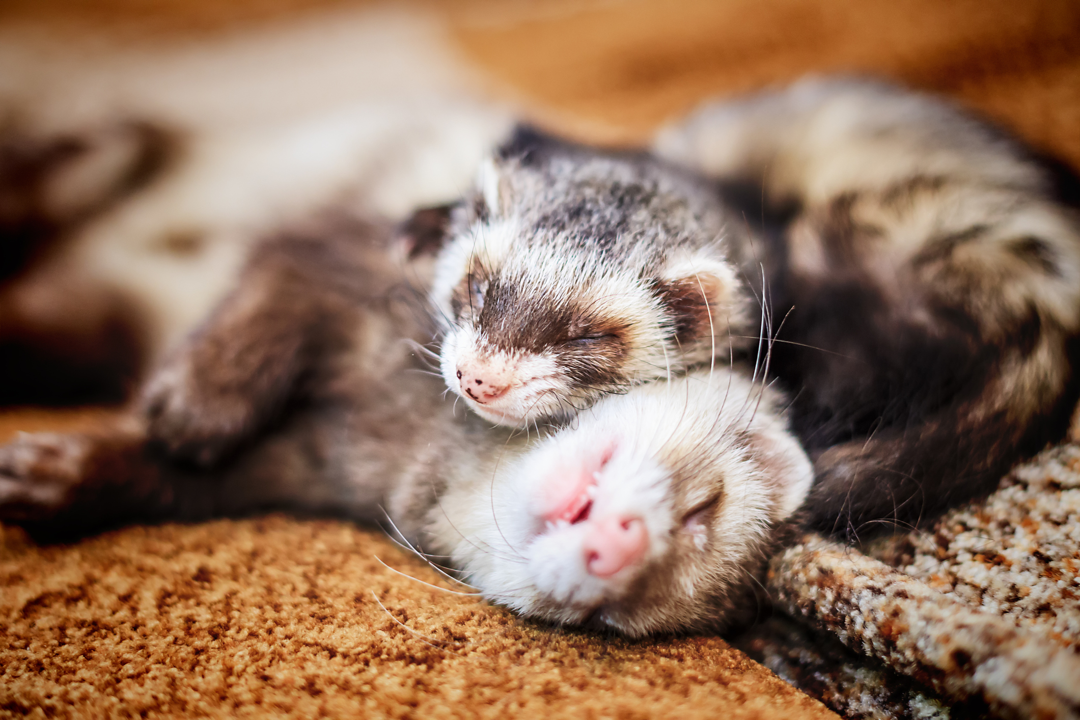 Ex-soldier's furry ferret friends banned from pub