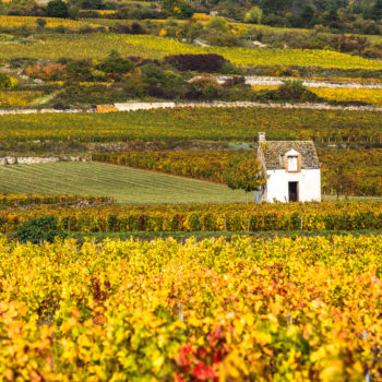Burgundy harvest suffers in summer heat