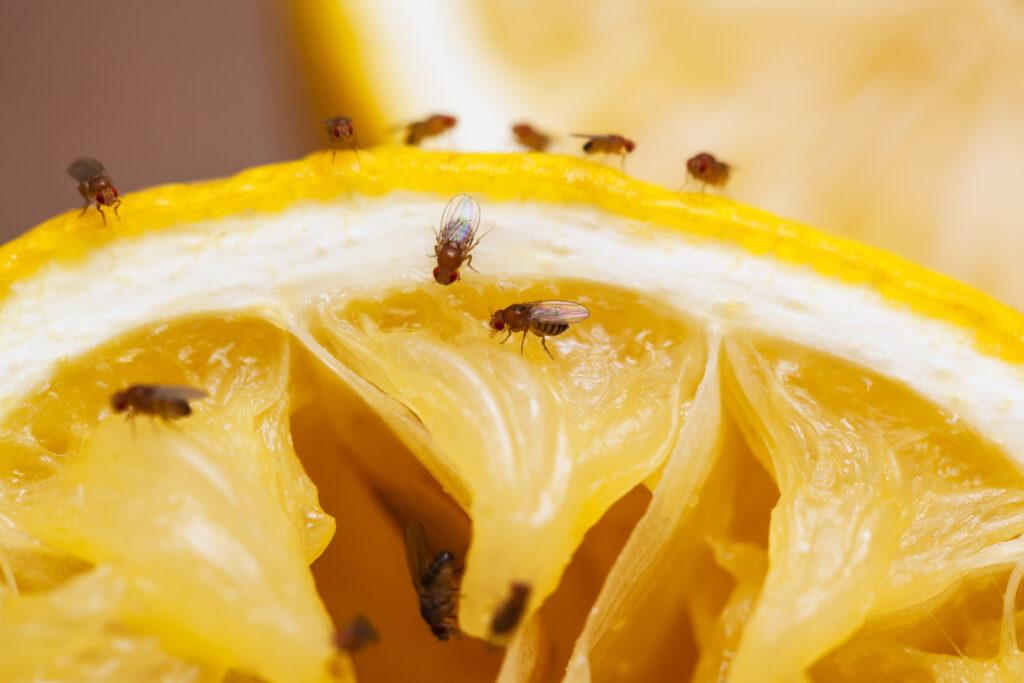 Fruit flies - repel fruit flies using wine corks