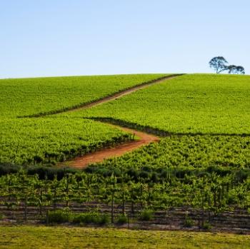 Australian_vineyard