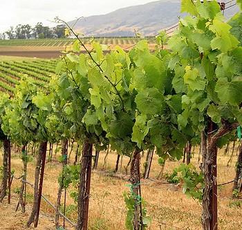 The Vineyards Of Sardinia