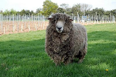 DSC_0245-23042009-sheep