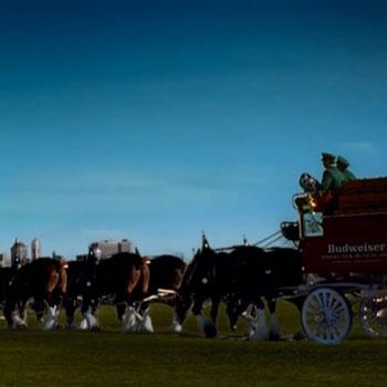 Budweiser horses