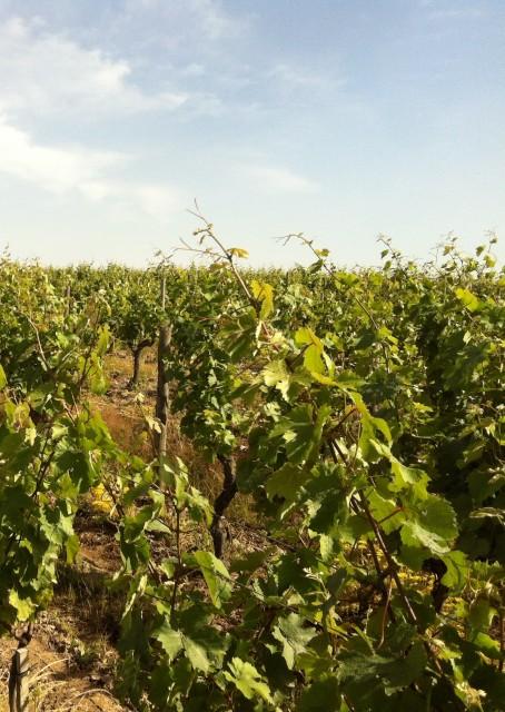 Loire vines