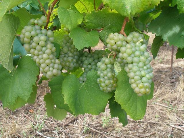 Melon de Bourgogne Grapes