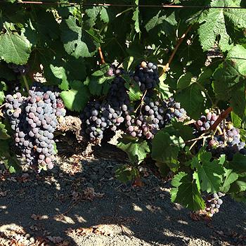 Napa Valley harvest