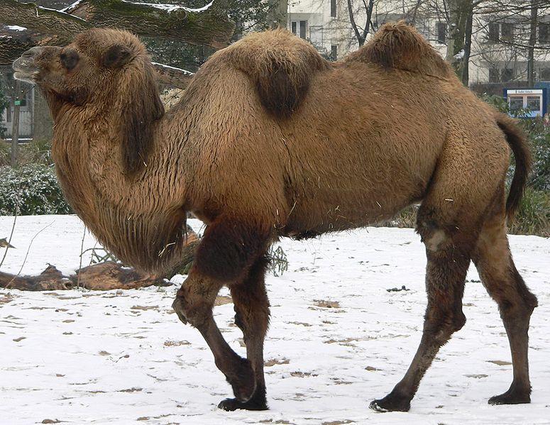 775px-Camel_seitlich_trabend