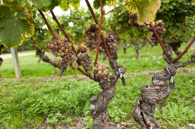 Chateau Biac Harvest 2013 (2 of 3)