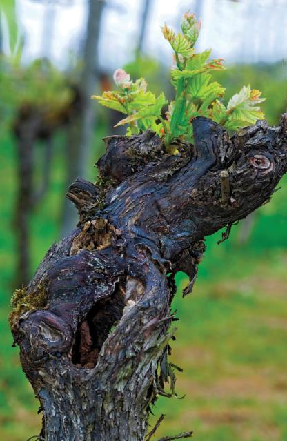 Old-Vine