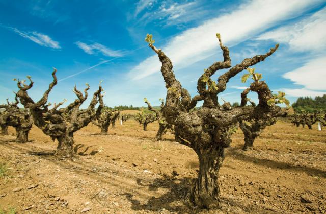 Old-Vines