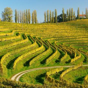 Vineyards in Jeruzalem, an area in Styria, Slovenia (Photo: Wiki)
