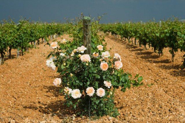 04. Belondrade (Vines)