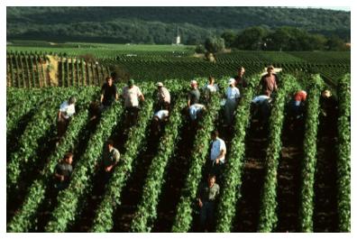 Champagne harvest 2015